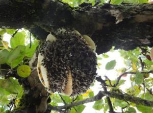 Schwarm, der in einem Apfelbaum zu bauen begonnen hat