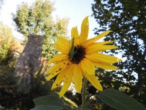 Heupferd mahlzeitet auf Sonnenblume