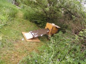 Bienenkugel Schwarmeinzug