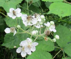 Bienen auf Brombeerblüten