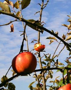 Bienen in den Äpfeln
