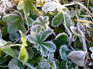 Frost Fingerkraut
