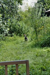Huhn im Waldgarten
