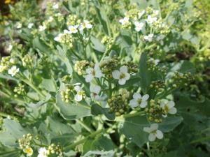 Meerkohlblüte