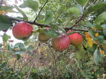 Letzte Äpfel