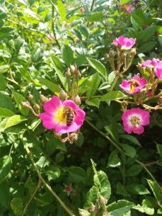 Mozartrose und Bienen