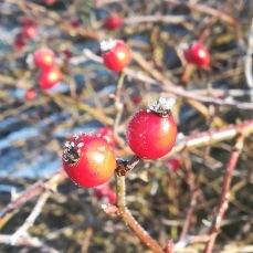 Hagebutte frost